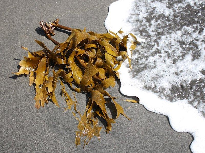 kelp-alga